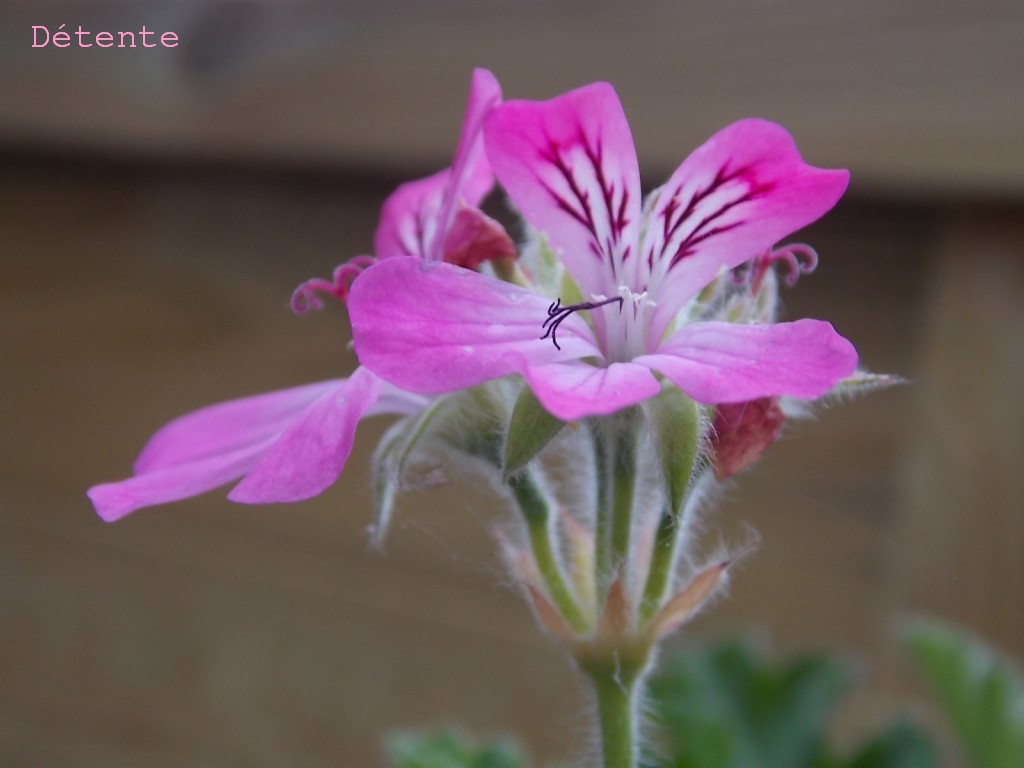 geraniumrosedetente