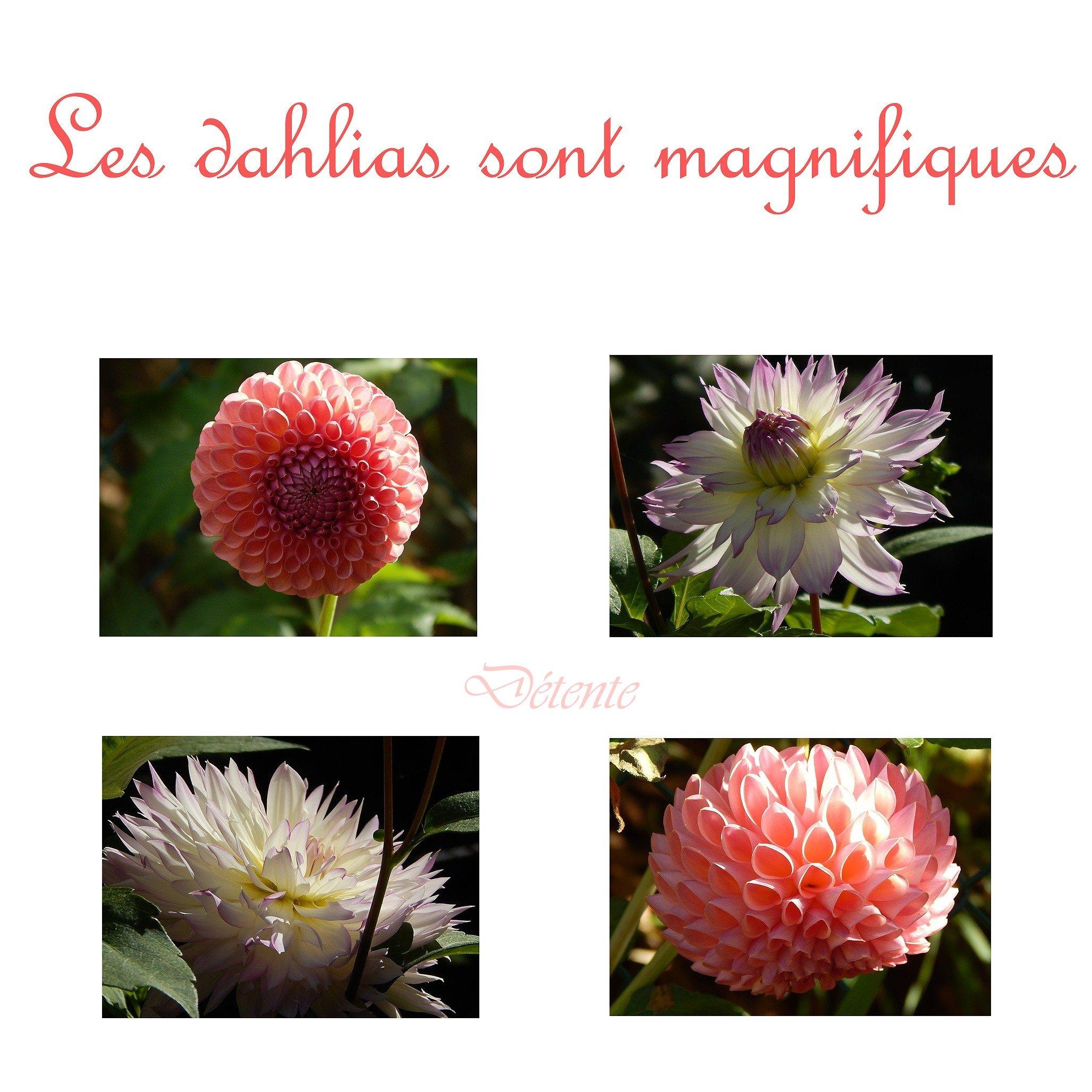 dahlias magnifiques01_Page000